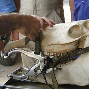Mastigação de equinos entenda mais sobre a fisiologia desse processo