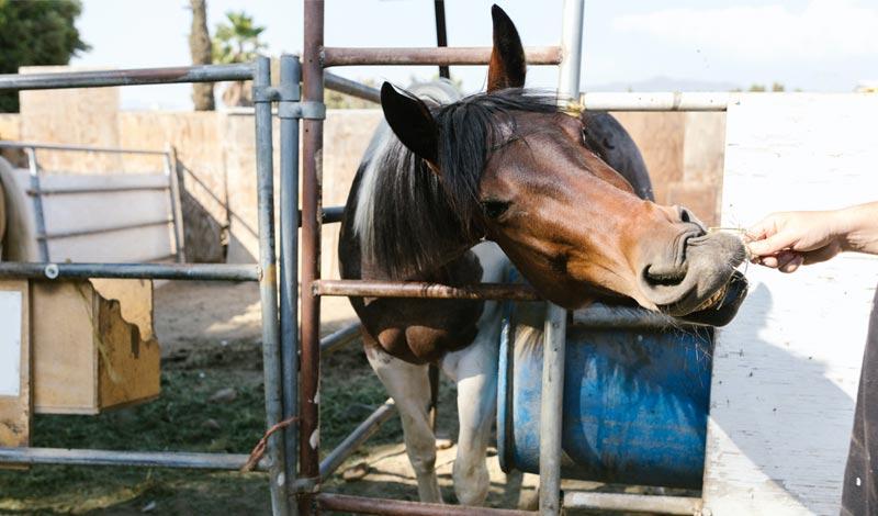Imagem do post: A importância dos cuidados com a dentição dos equinos
