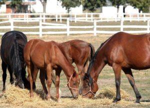 Imagem do post: Alimentação correta dos cavalos