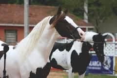 Imagem do post: 33ª Exposição Nacional do Cavalo Mangalarga