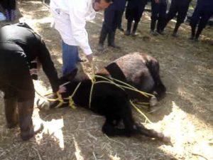 Imagem do post: Derrubamento de equinos: método dos travões