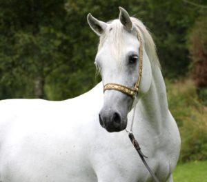 Imagem do post: Cavalo Árabe