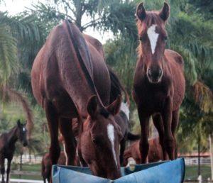 Imagem do post: Como deve ser a alimentação de um cavalo?
