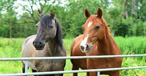 Imagem do post: Como diagnosticar as doenças respiratórias em equinos
