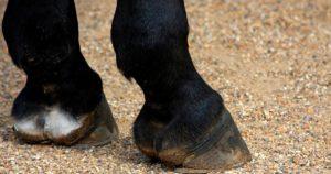 Imagem do post: Confira as causas e cuidados com inchaço nas patas de cavalo