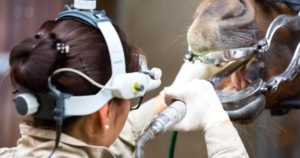 Imagem do post: Dentes dos cavalos: cuidados especializados são a chave para evitar prejuízos!