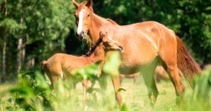 Imagem do post: Desenvolvimento embrionário equino: por que acompanhar?