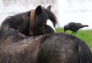 Imagem do post: Ectoparasitas mais comuns nas criações de cavalos
