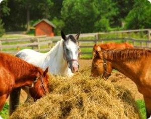 Imagem do post: Erros no manejo nutricional de equinos podem afetar o desempenho e bem-estar