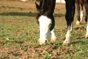 Imagem do post: Estereotipias – Coprofagia em equinos