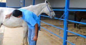 Imagem do post: Ferimentos em cavalos: entenda as práticas de primeiros socorros