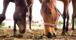 Imagem do post: Intoxicação por ureia em equinos: conheça os sintomas