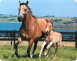 Imagem do post: O manejo reprodutivo dos equinos