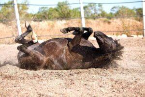 Imagem do post: Seu cavalo apresentou cólica? Descubra onde você está errando
