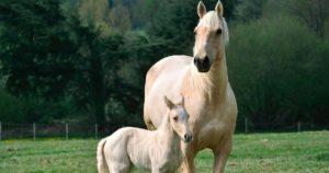 Imagem do post: Transferência de embriões em equinos: conheça os principais erros que afetam os resultados!