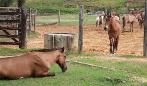 Imagem do post: Rabdomiólise em cavalos conheça os sinais clínicos