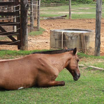 Rabdomiólise em cavalos conheça os sinais clínicos