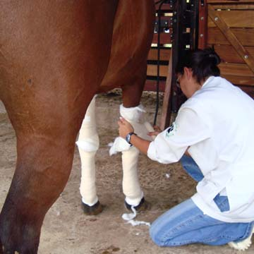 Saiba como tratar as feridas em cavalos
